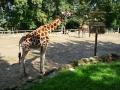 ZOO Zlín Žirafa P1090687